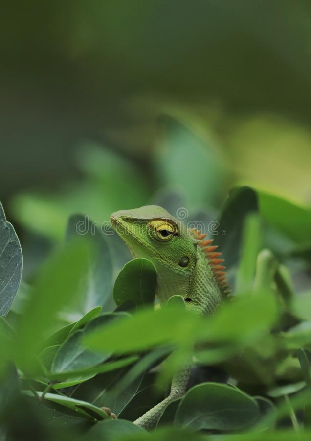 Download de Indiase chameleon afbeelding en gebruik deze voor commerciële doeleinden stock afbeeldingen