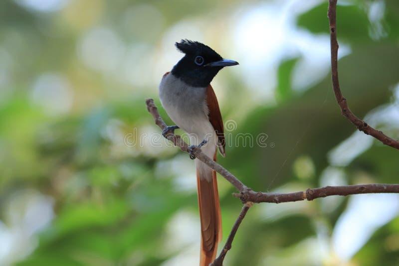Download het beeld en het gebruik van Indiase vogels voor commerciële doeleinden stock fotografie