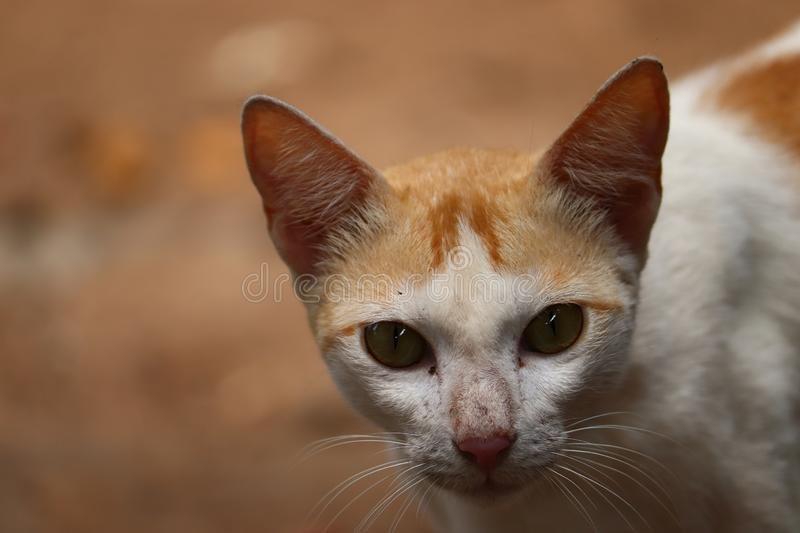 Download Indian home cat and use for commercial. Download Indian cat image and use for commercial. Summer photography in india. Capture location is Nagapattinam stock images