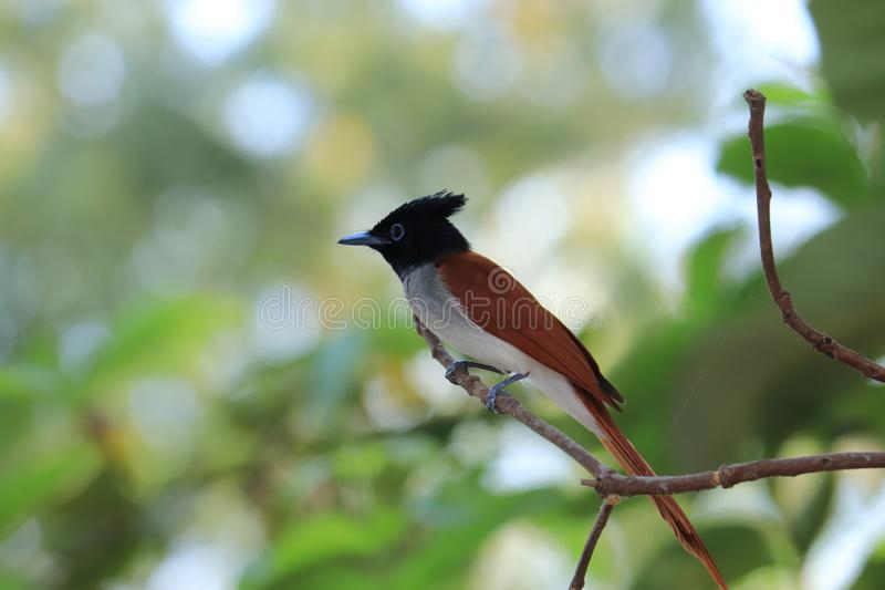 Download Indian birds image and use for commercial. Download Indian summer image and use for commercial. birds photography in india. Capture location is royalty free stock photography