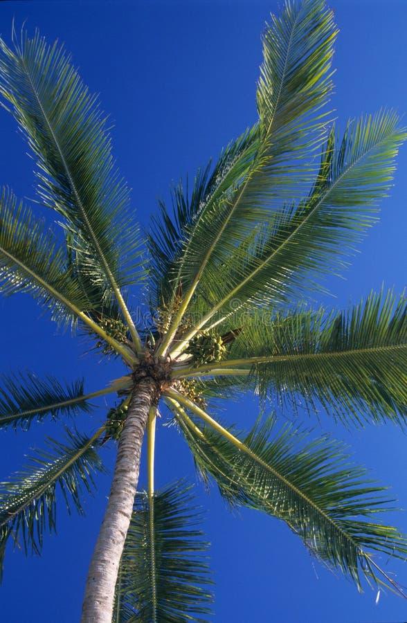 Downview de las hojas de las palmeras en la isla de Isla Mauricio fotos de archivo