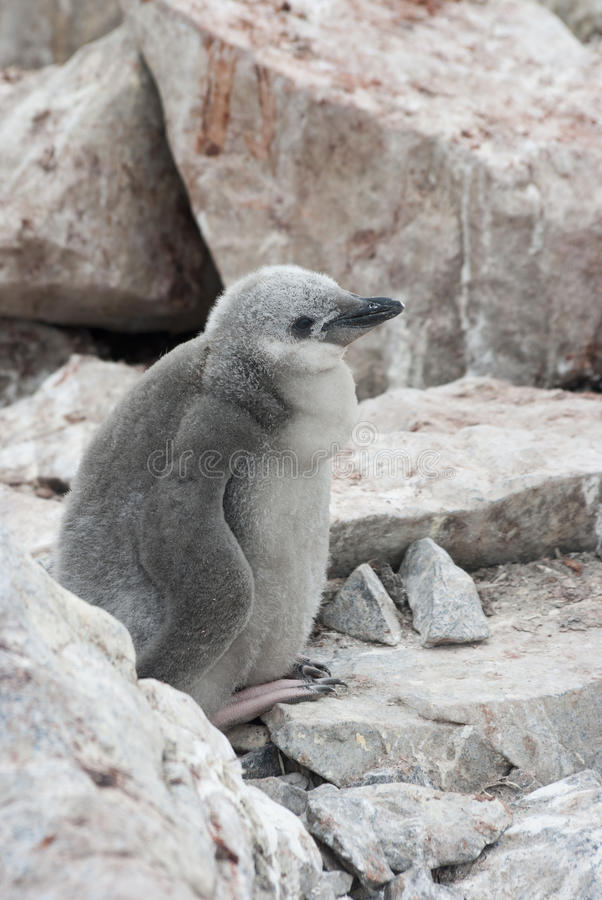 Download Downy Chick Antarctic Penguin. Stock Photo - Image: 28285030