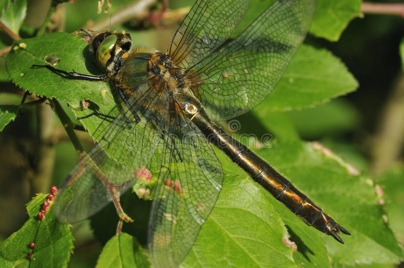 Downy Emerald Dragonfly royalty free stock photography