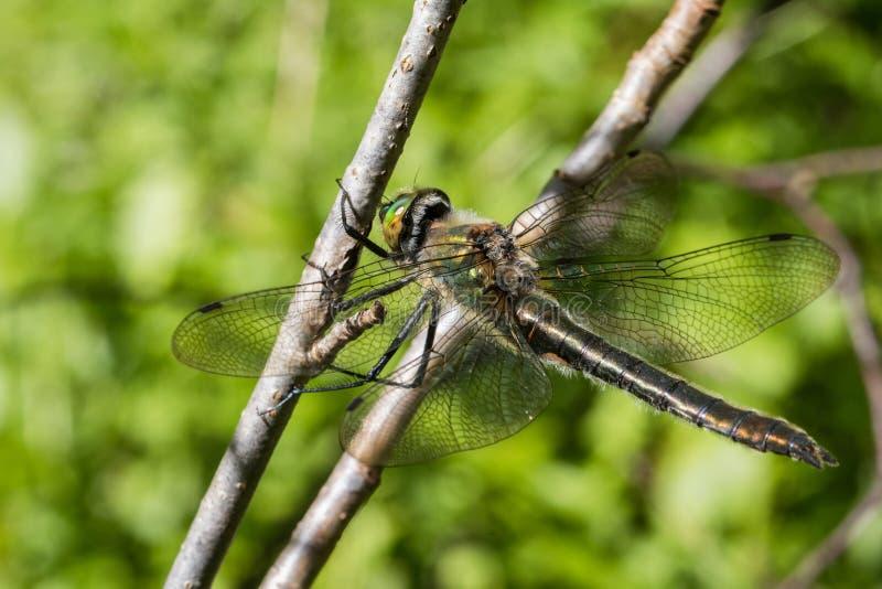 Downy Emerald Dragonfly, Cordulia aenea, Female stock photos
