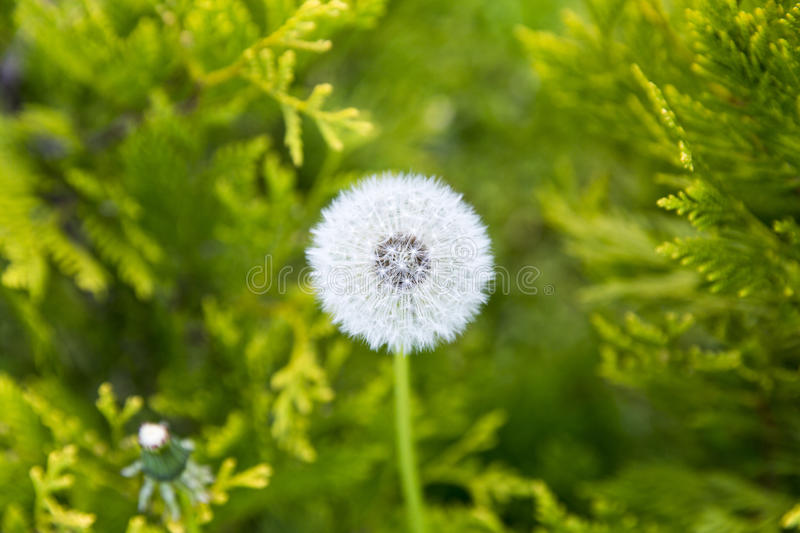 Downy ripe seed head of the dandelion closeup royalty free stock image