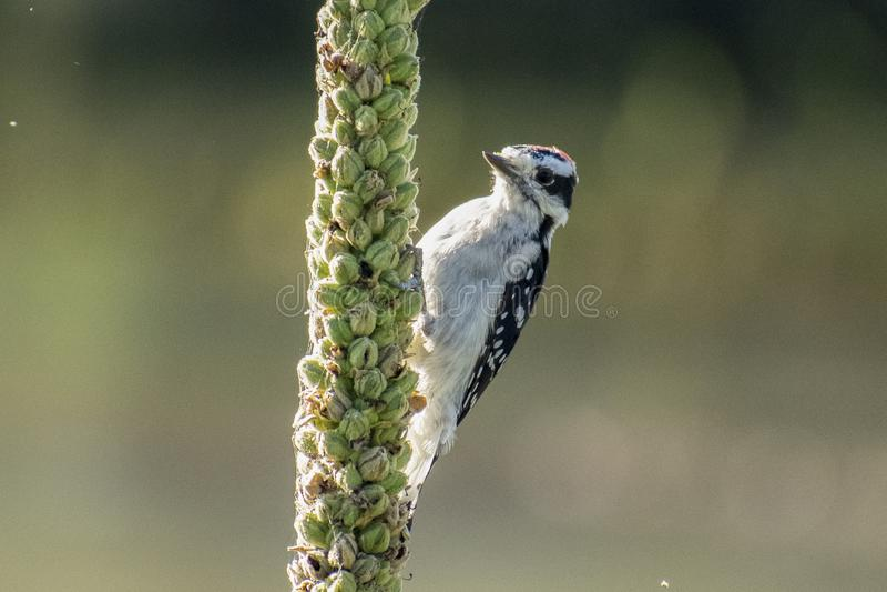 Downy Woodpecker寻找早餐 库存照片