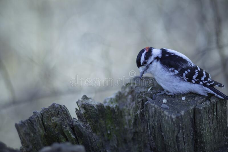 Male Downy With Head Held Low. A downy woodpecker holds its head down looking at the sunflower seeds on the wood stump stock photos