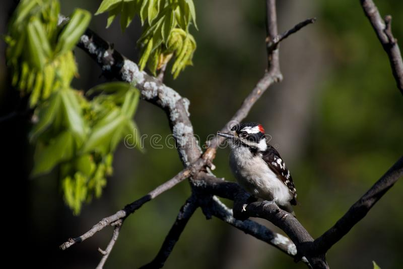 Downy Woodpecker. Perched on branch royalty free stock photo