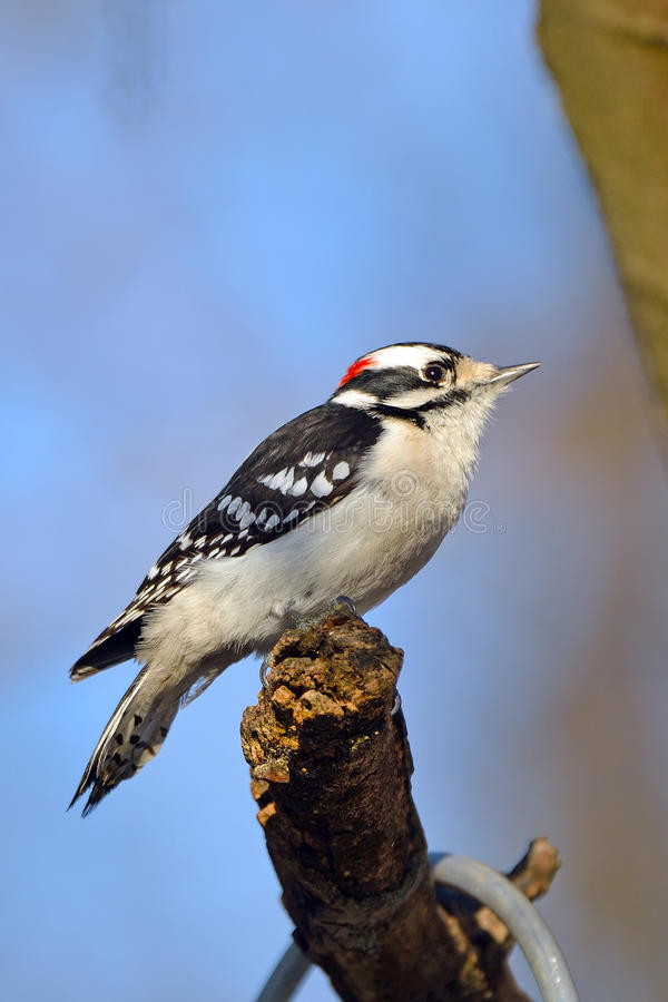 Free Downy Woodpecker Stock Image - 20445231