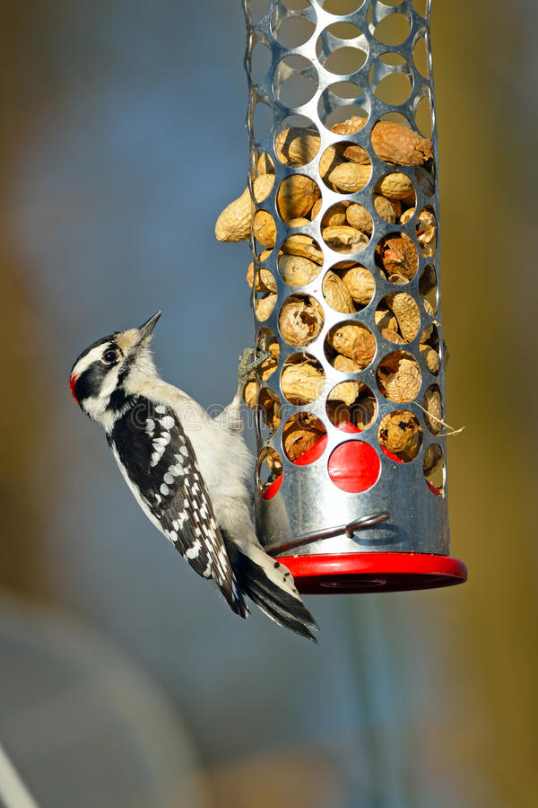 Download Downy Woodpecker stock image. Image of wildlife, nature - 20457603