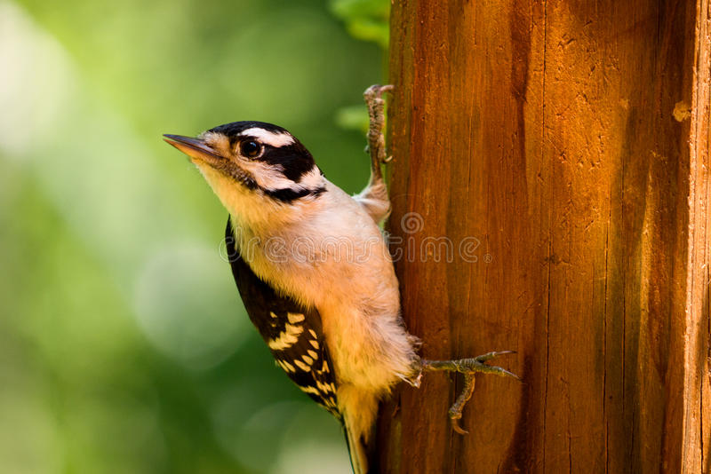 Downy Woodpecker. A young Downy Woodpecker grasps a wooden post stock photos