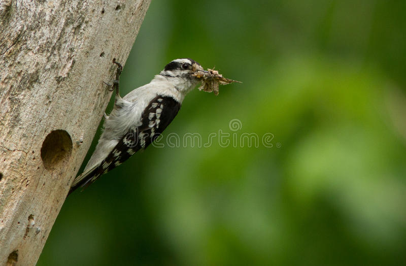 Downy Woodpecker Royalty Free Stock Images