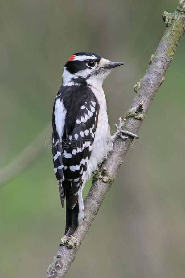 Downy Woodpecker. Portrait Of A Bird, The Downy Woodpecker, Perched And Looking Out, Pictured Against A Green Background, Picoides pubescens royalty free stock photo