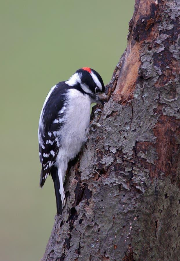 Free Downy Woodpecker Stock Photo - 3843320