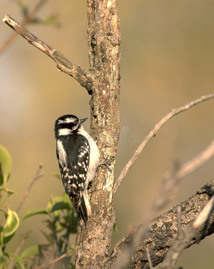 Download Downy Woodpecker stock image. Image of nature, woods, woodpecker - 761493