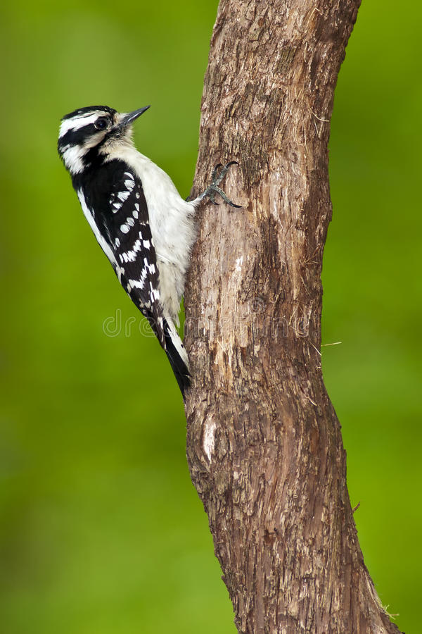 Download Downy Woodpecker Female stock photo. Image of feather - 19370446