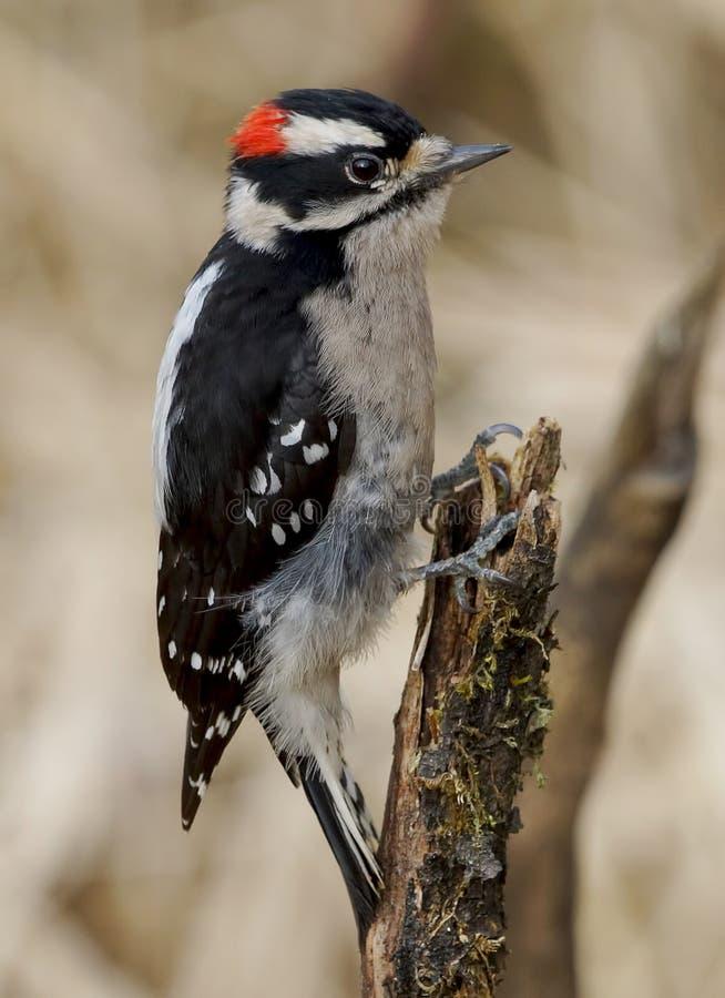 Downy Woodpecker - Picoides pubescens royalty free stock photos