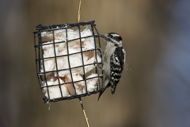 Download Downy Woodpecker (Picoides Pubescens Medianus) Stock Image - Image: 7348411