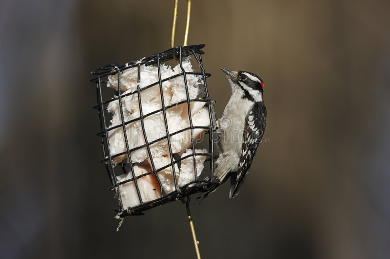 Downy Woodpecker (Picoides Pubescens Medianus) Stock Photography