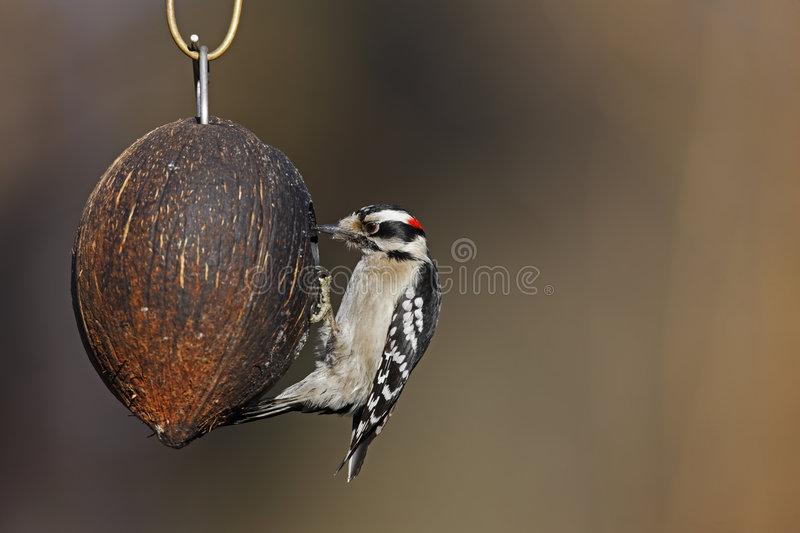 Download Downy Woodpecker (Picoides Pubescens Medianus) Royalty Free Stock Photography - Image: 9147937