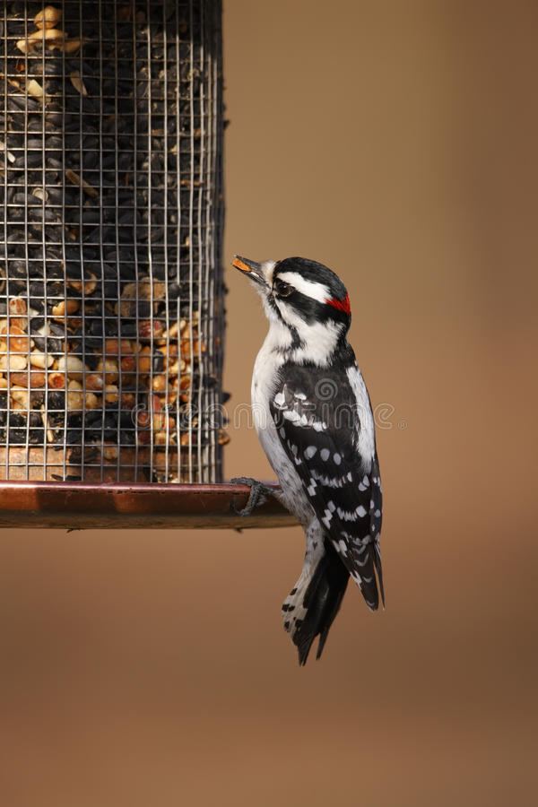 Downy Woodpecker (Picoides Pubescens Medianus) Stock Photos
