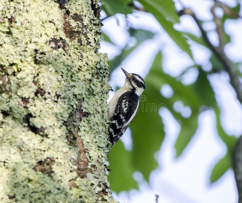 Downy Woodpecker on lichen covered Chestnut Oak, Smoky Mountains. Downy Woodpecker, Picoides pubescens, photographed on Ratcliff Mountain in Waynesville, North stock images