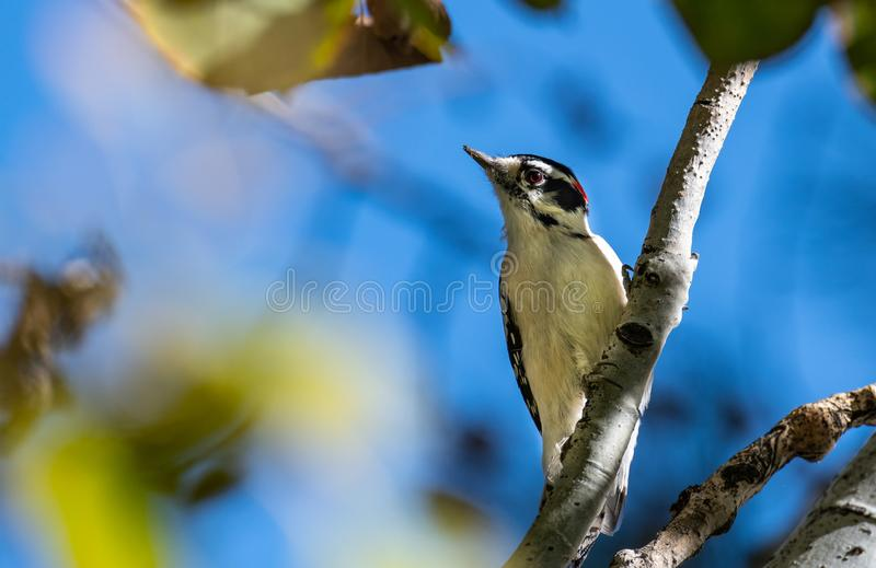 Downy Woodpecker in Aspen Tree. A Downy Woodpecker Searching for Food in an Aspen Tree royalty free stock photography