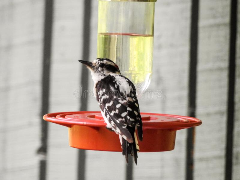 Downy Woodpecker at a Water Feeder royalty free stock image