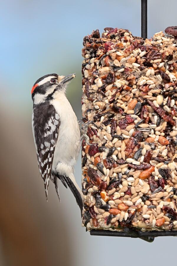Downy Woodprecker On a Cylinder Seed Feeder. A downy woodpecker clutches onto a cylinder seed feeder pecking away at cranberries, safflower, peanuts,  and stock image