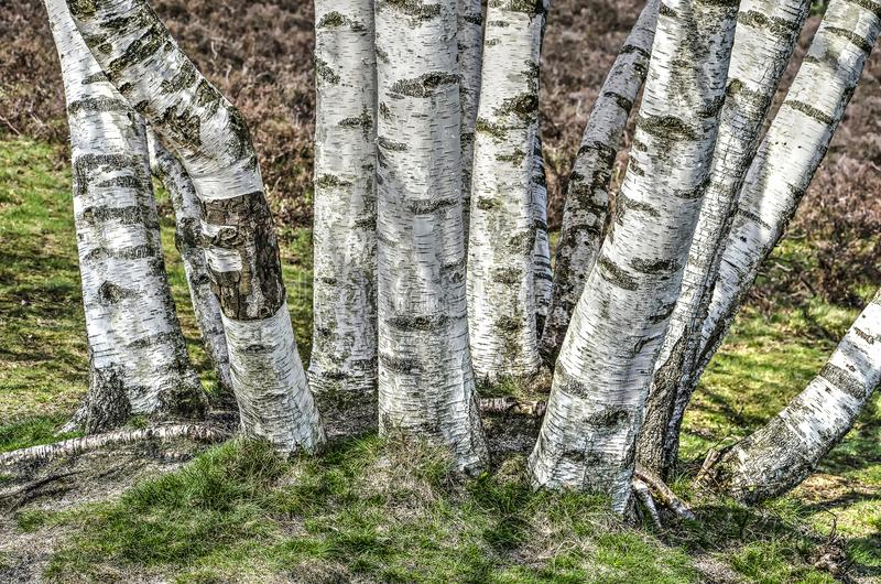 Dozen birch trees. A dozen birch trees with their characteristic white bark sprouting from a common root stock photo