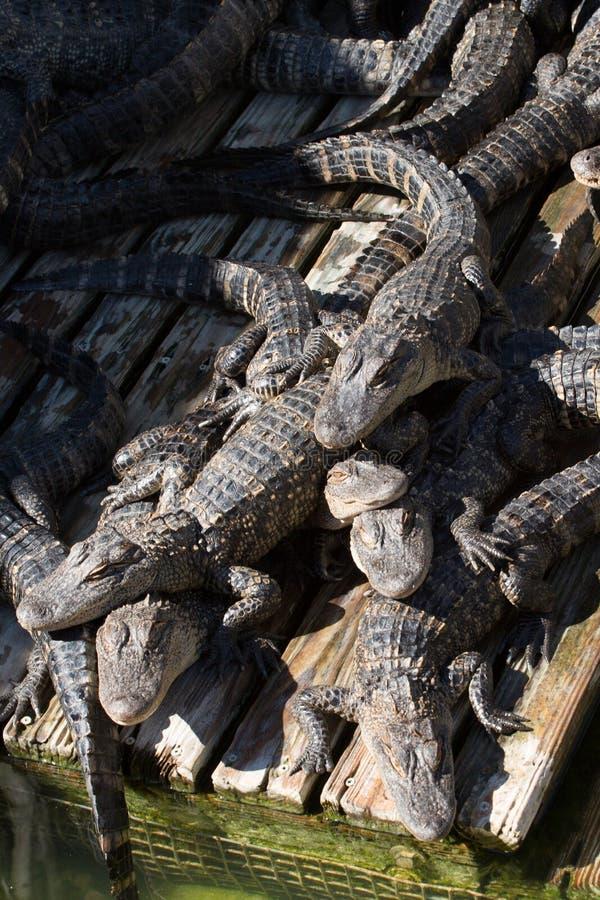 Teem of Gators royalty free stock images