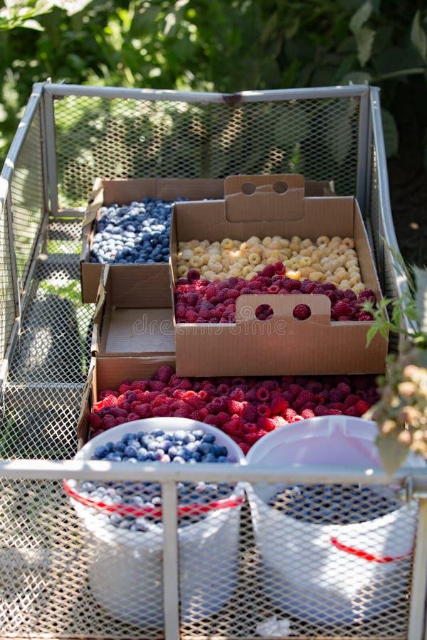 Dozen met bessen bij u-oogst landbouwbedrijf worden gevuld dat stock fotografie