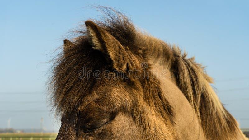 Dozing Icelandic horse. On a midwinter sunny moment royalty free stock photos