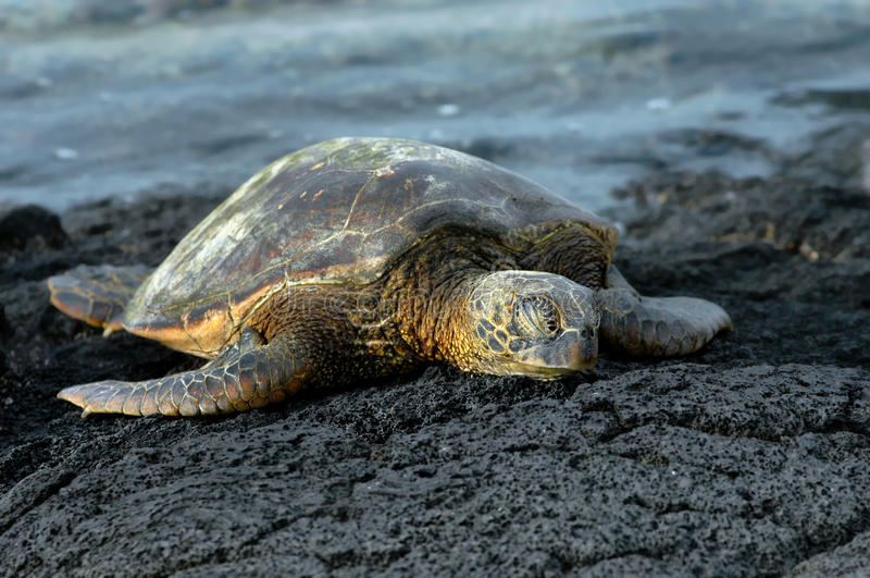 Dozing sea turtle