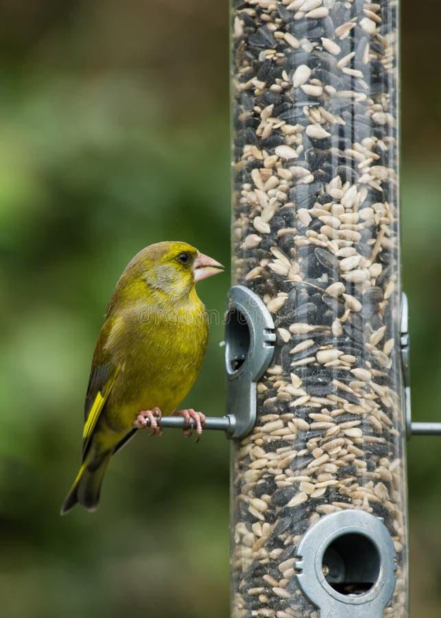 dozownika ptasi greenfinch zdjęcie royalty free