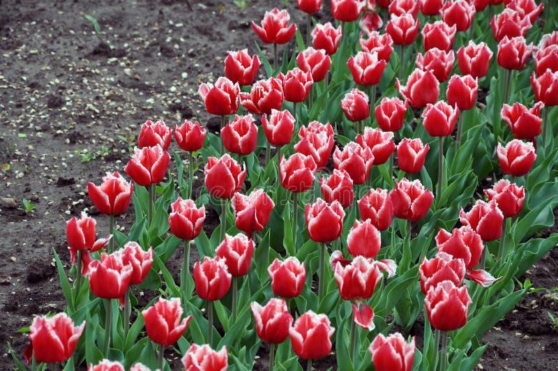 Dozzine di tulipani di vermigli che fioriscono in primavera immagini stock libere da diritti
