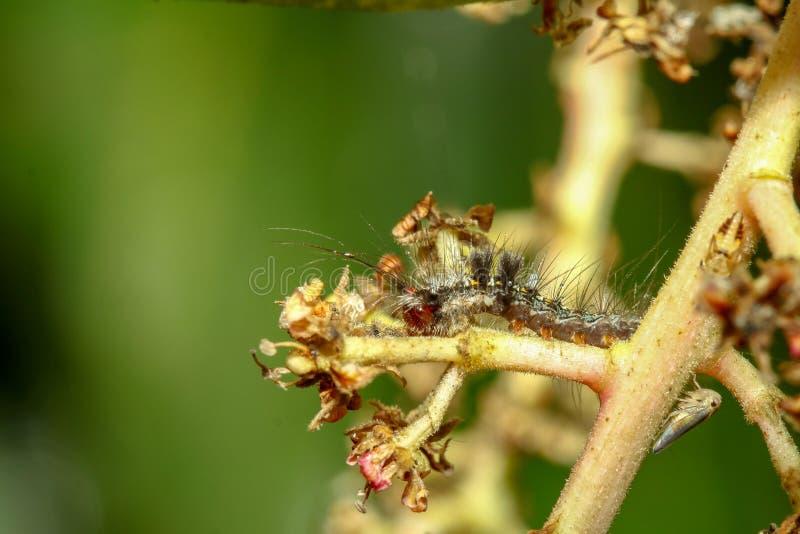 drämmer till larven på pinneträd royaltyfria foton