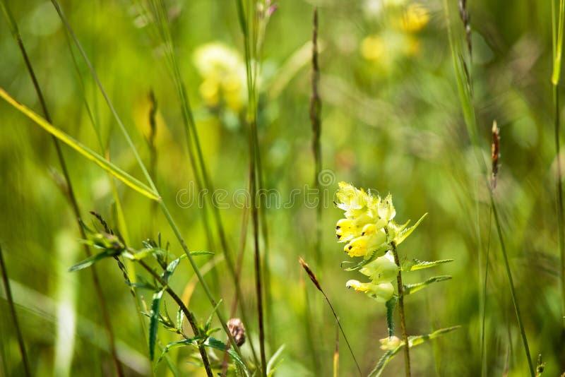 Dröhnende gelbe wilde Blumen auf der Wiese im Sommer lizenzfreies stockbild