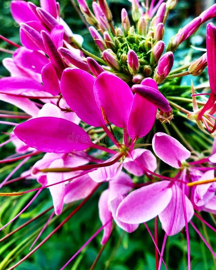 Dröm- blomma för rosa blomma royaltyfri foto
