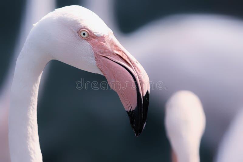 Dröm- flamingo arkivbild
