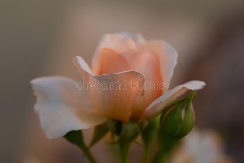 Drömlika rosor älskas för att vara förälskelse royaltyfria foton