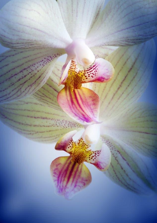 drömma orchids två royaltyfria bilder