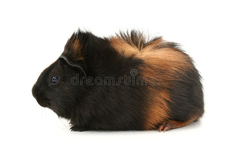Dr. Fuzz (Pet Guinea Pig) Over White Background Royalty Free Stock Photos