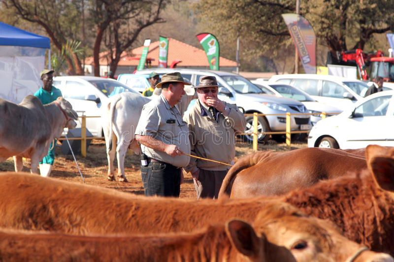 Dr. Peter Milton on right, judging cattle at championship. stock photography