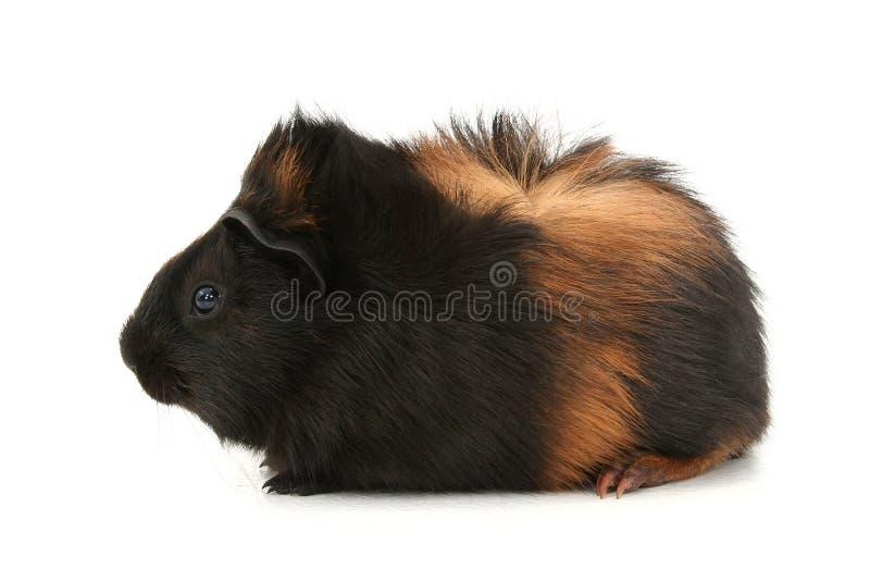 dr tła Gwinei Meszek nad pet biały świni zdjęcia royalty free