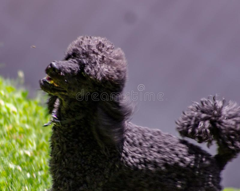 Drałowanie bardzo dobrze definiował twarzowe cechy i jest łatwo distinguishable od jakaś innego psiego trakenu: Głowa jest bardzo obrazy stock