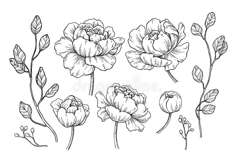 Dra för för pionblomma och sidor Vektor hand drog inristade flor vektor illustrationer