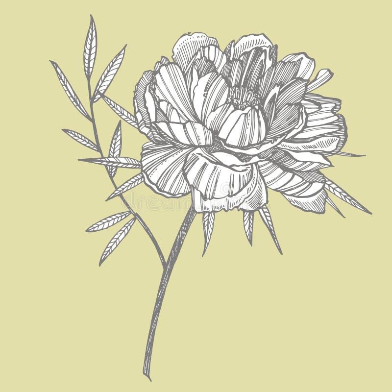 Dra f?r f?r pionblomma och sidor Utdragen inristad blom- uppsättning för hand Botaniska illustrationer Utmärkt för tatuering, inb vektor illustrationer
