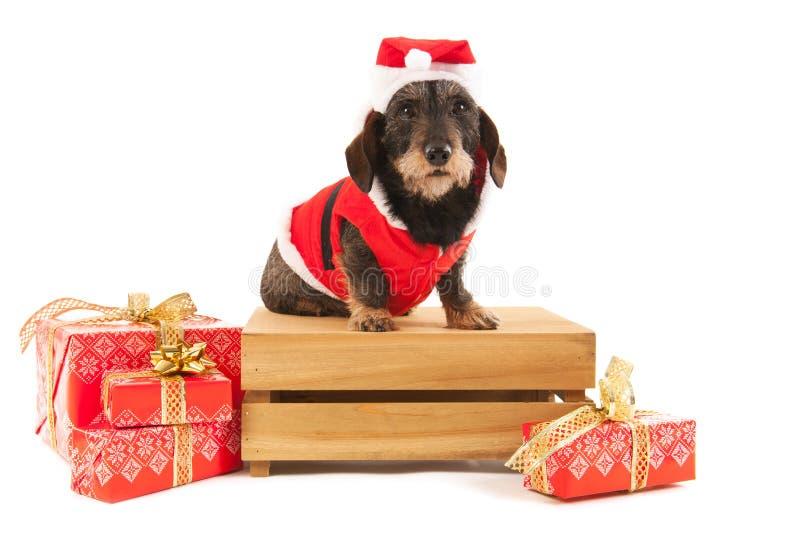 Draad haired tekkel met Kerstmiskostuum op houten krat royalty-vrije stock afbeeldingen