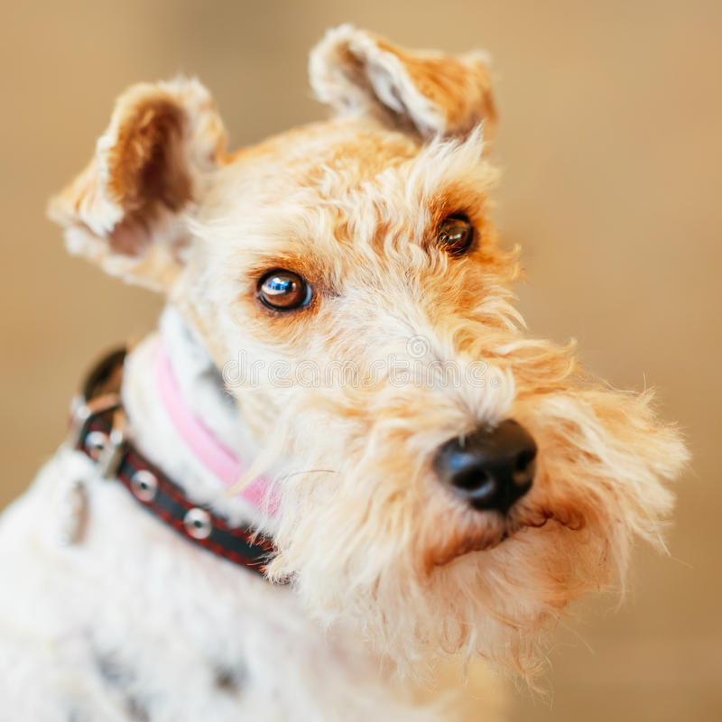 Draadfox-terrier stock foto's